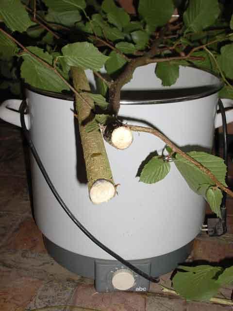 hazlewood branches