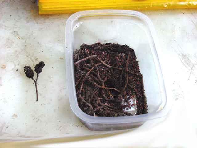 alder seeds 1