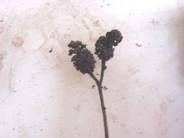 alder seeds 2