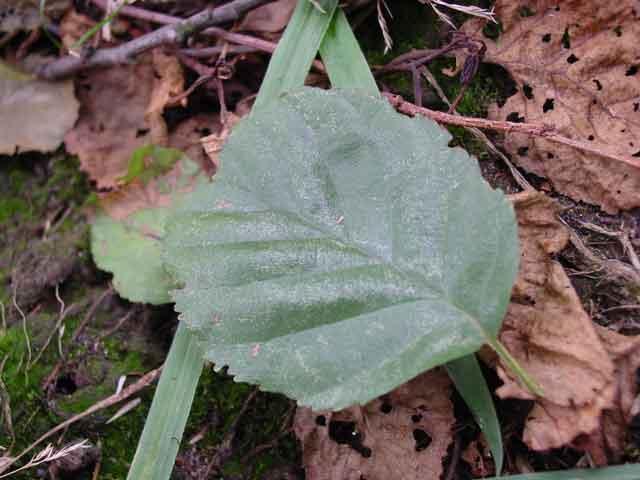 alder leaves 2