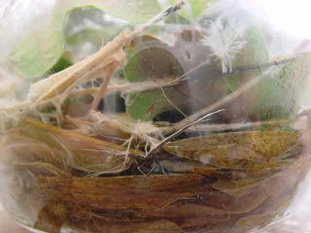 azuremyc on oak 3