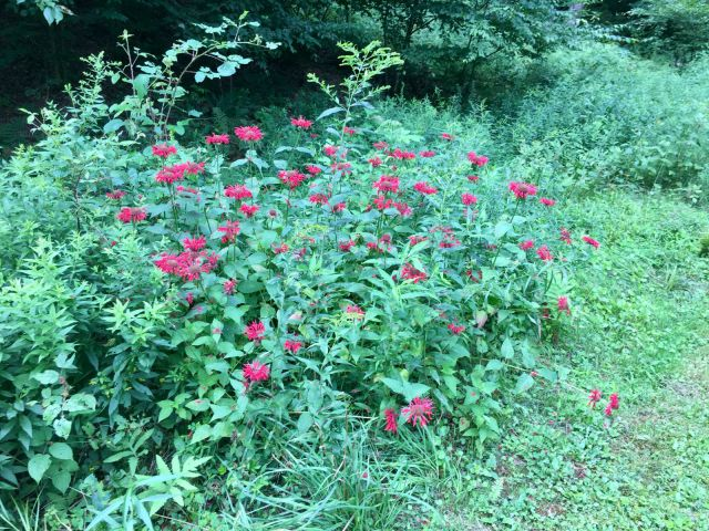 Scarlet Bee Balm Patch