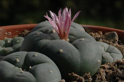 flowering lophophora decipiens 20090202