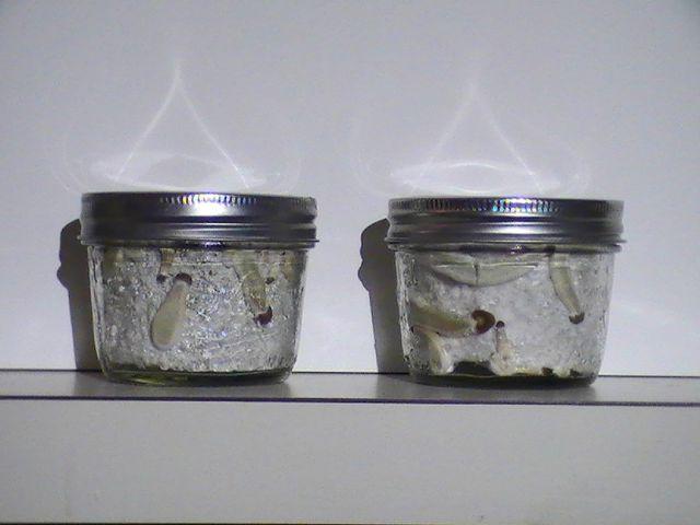 Hippie's Neglect Tek: Worth it? - Fungi: Magic Mushrooms