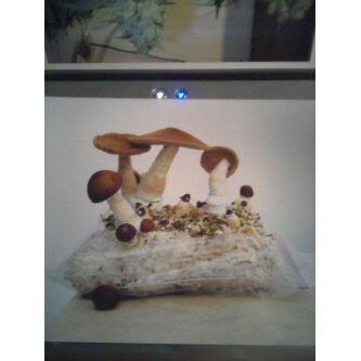 Need a good bulk substrate recipe - Fungi: Magic Mushrooms