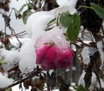 Late November Rose .jpg