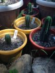 Young Cacti.JPG