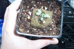 desmanthus leptolobus seedlings 002.jpg