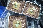 desmanthus leptolobus seedlings 004.jpg