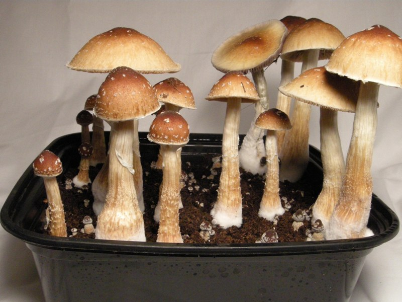 Psilocybe cubensis 13 strains - [OLD] Photo Gallery - Mycotopia