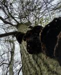 Rotten Reds on Tree from under.jpg