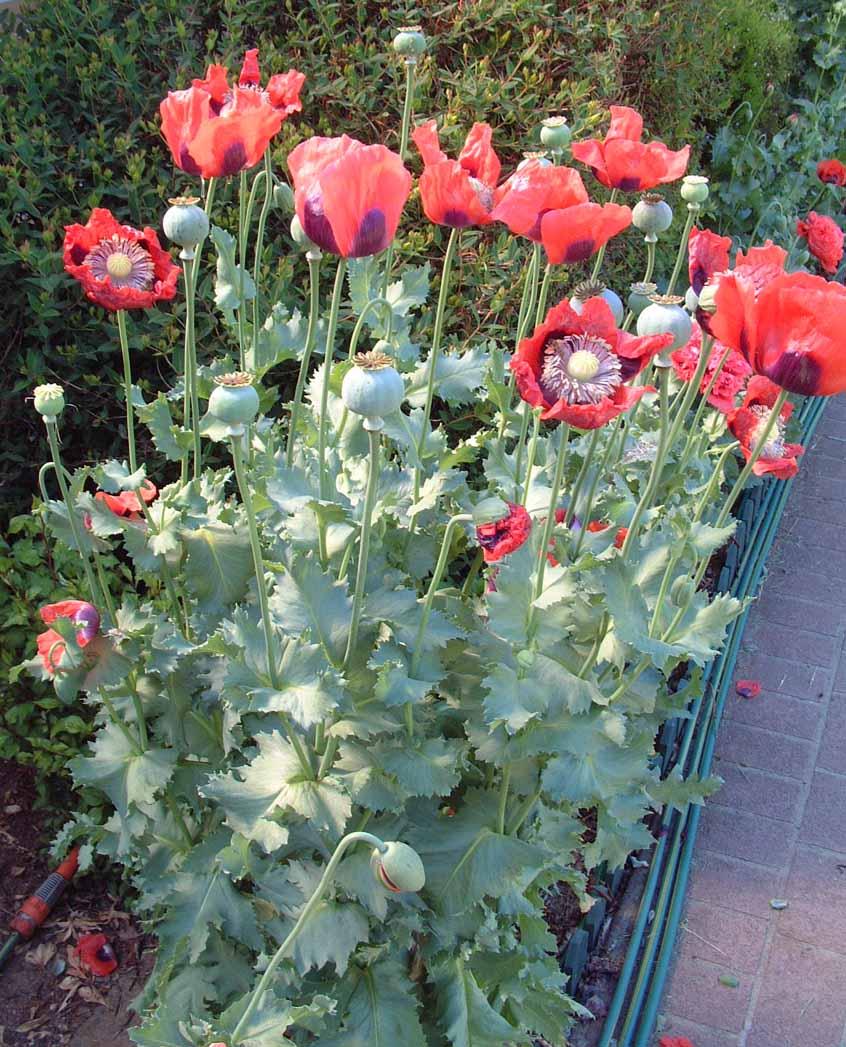 85245 singleredtazclumpjpg Opium Poppy Teks Poppies Opium