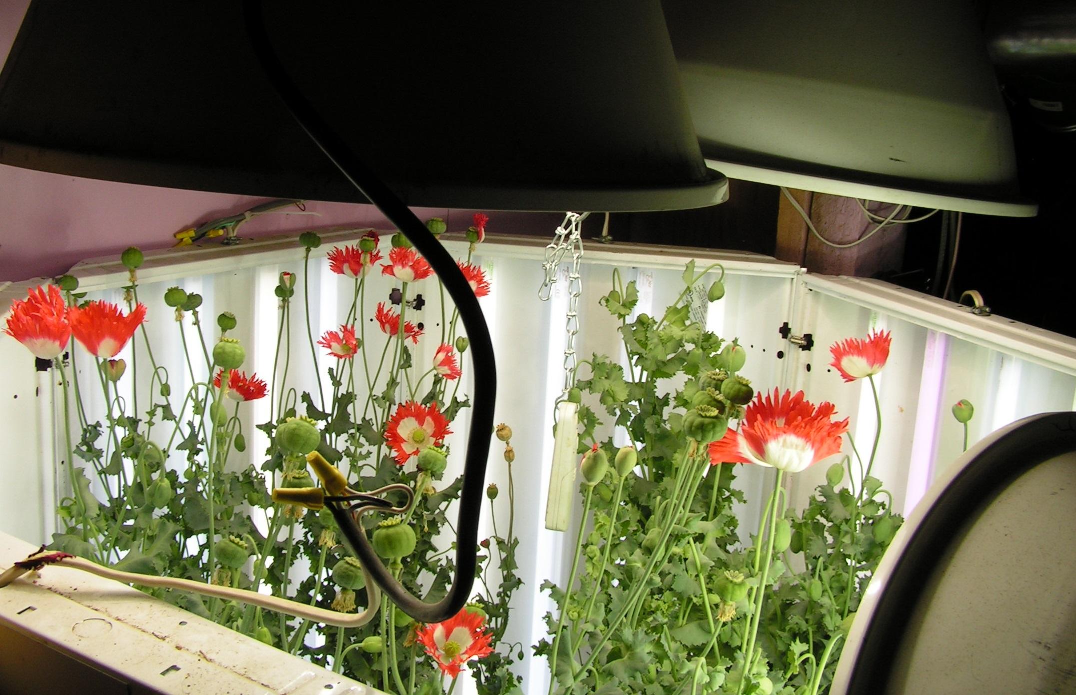 Indoor Poppy Growing Tek Page 4 Botanicals Mycotopia