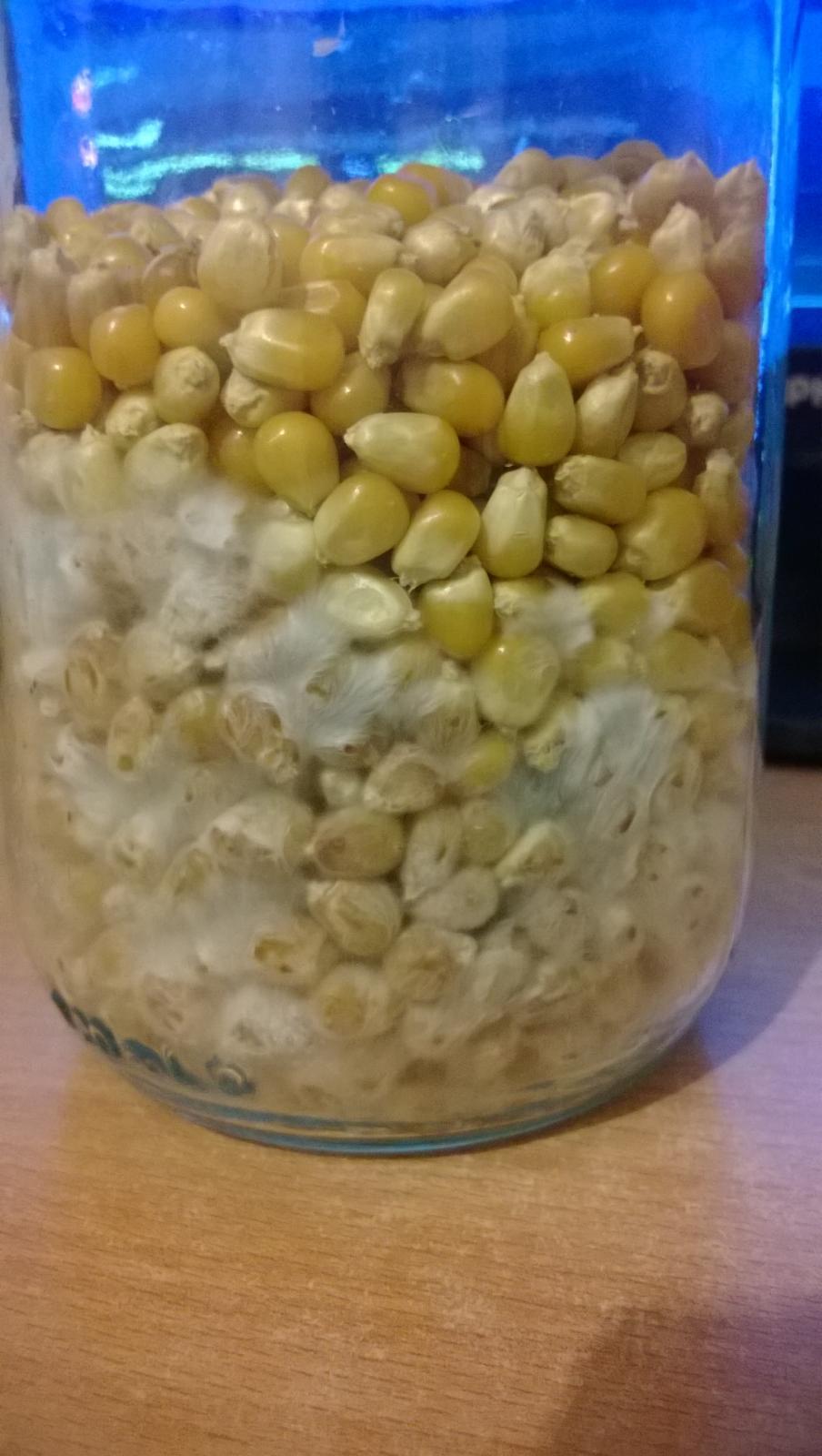 Corn mycelium blueing - Fungi: Magic Mushrooms - Mycotopia