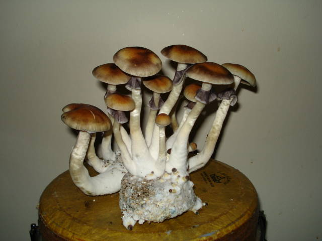 South American Potency? - strainbase-SOUTH AMERICAN - Mycotopia