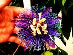 vivid passion flower.jpg