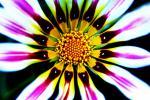 vivid zinnia.jpg