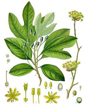 Botanical of the Day - Page 3 - Botanicals - Mycotopia