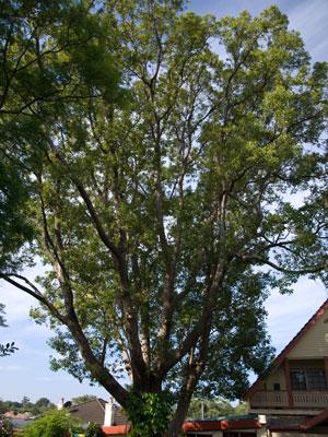 Greek Laurel Tree Flowers