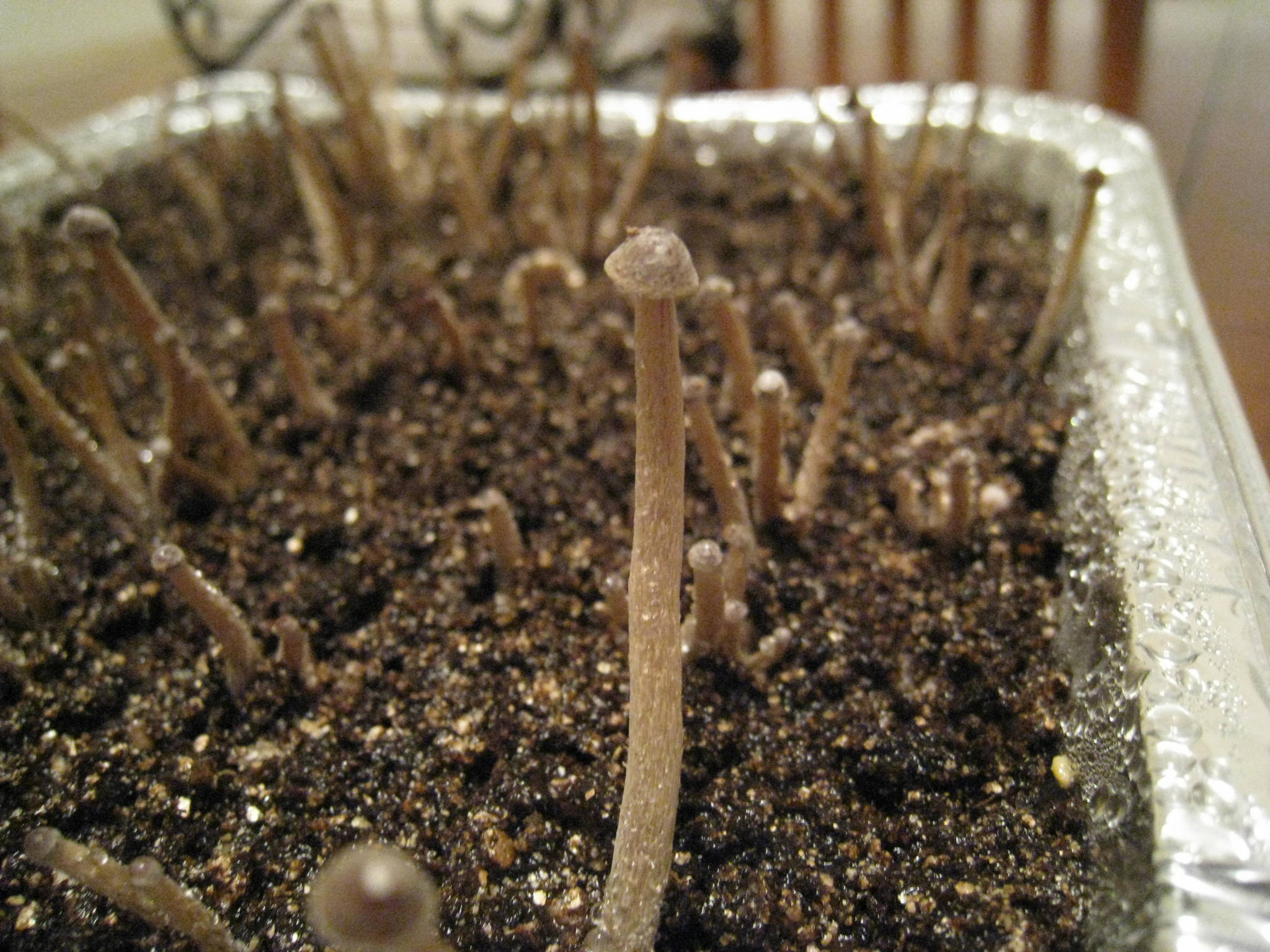 First Psilocybe Tampanensis Grow Pics Fungi Magic
