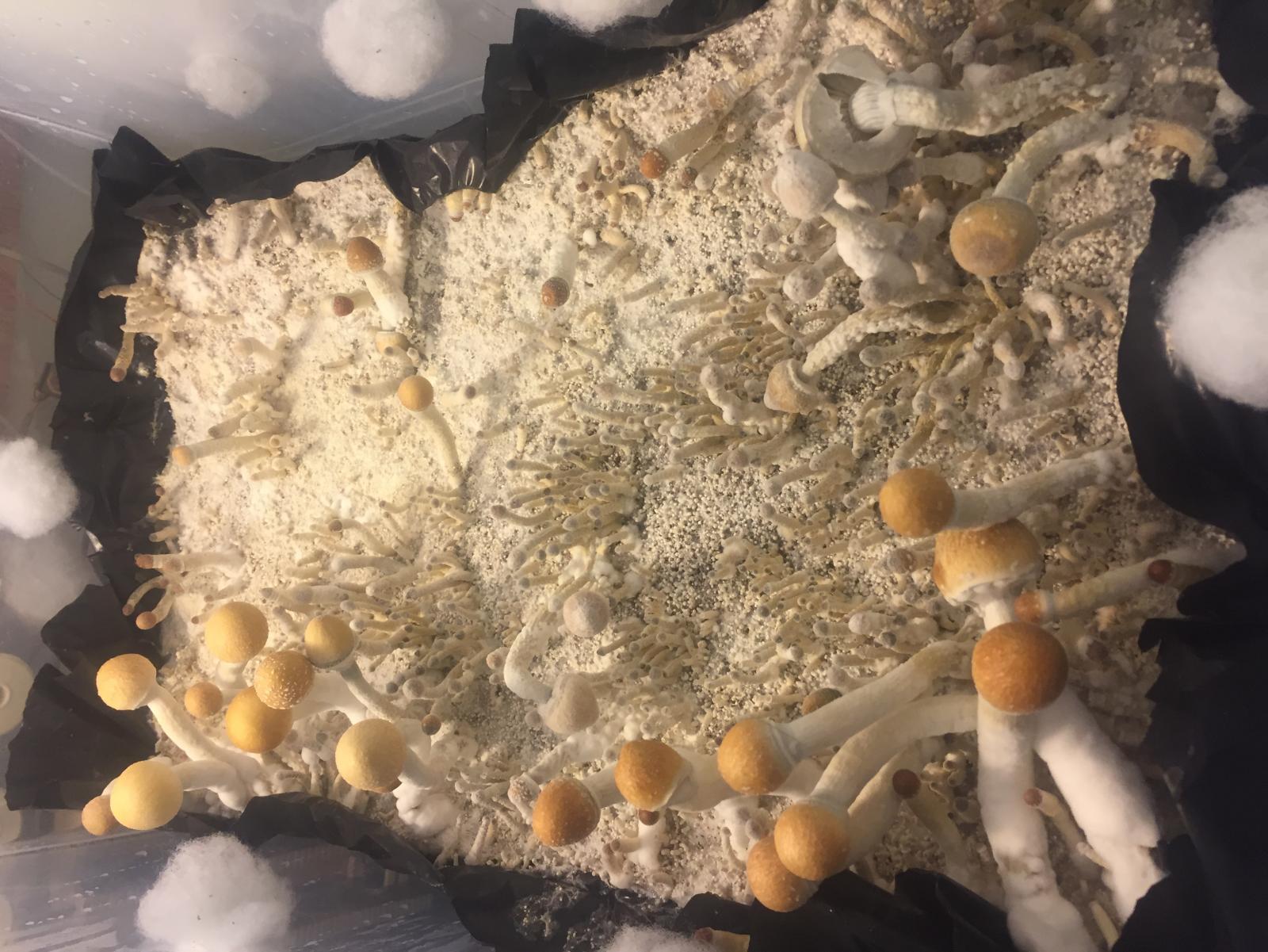 Fruiting Stalled!?!? - Fungi: Magic Mushrooms - Mycotopia