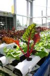 220px-Aquaponics_with_Vibrantly_Colored_Plants.jpg