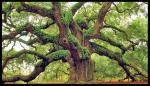 Ancient Oak.jpg