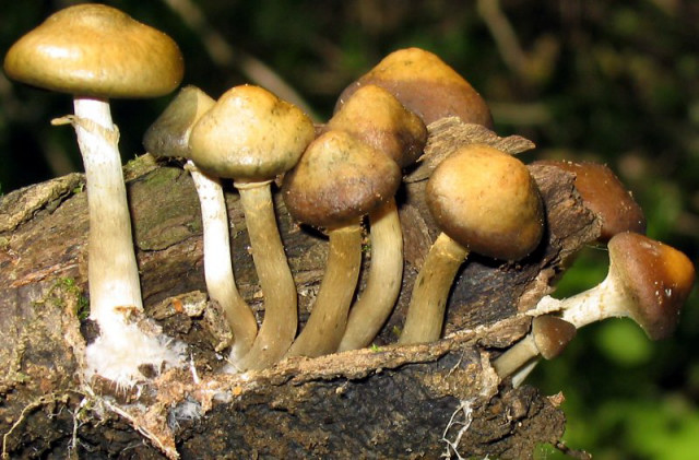 Psilocybe caerulipes ~ Blue-foot - Exotic Magic Mushroom