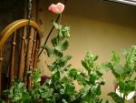 poppies 186.jpg