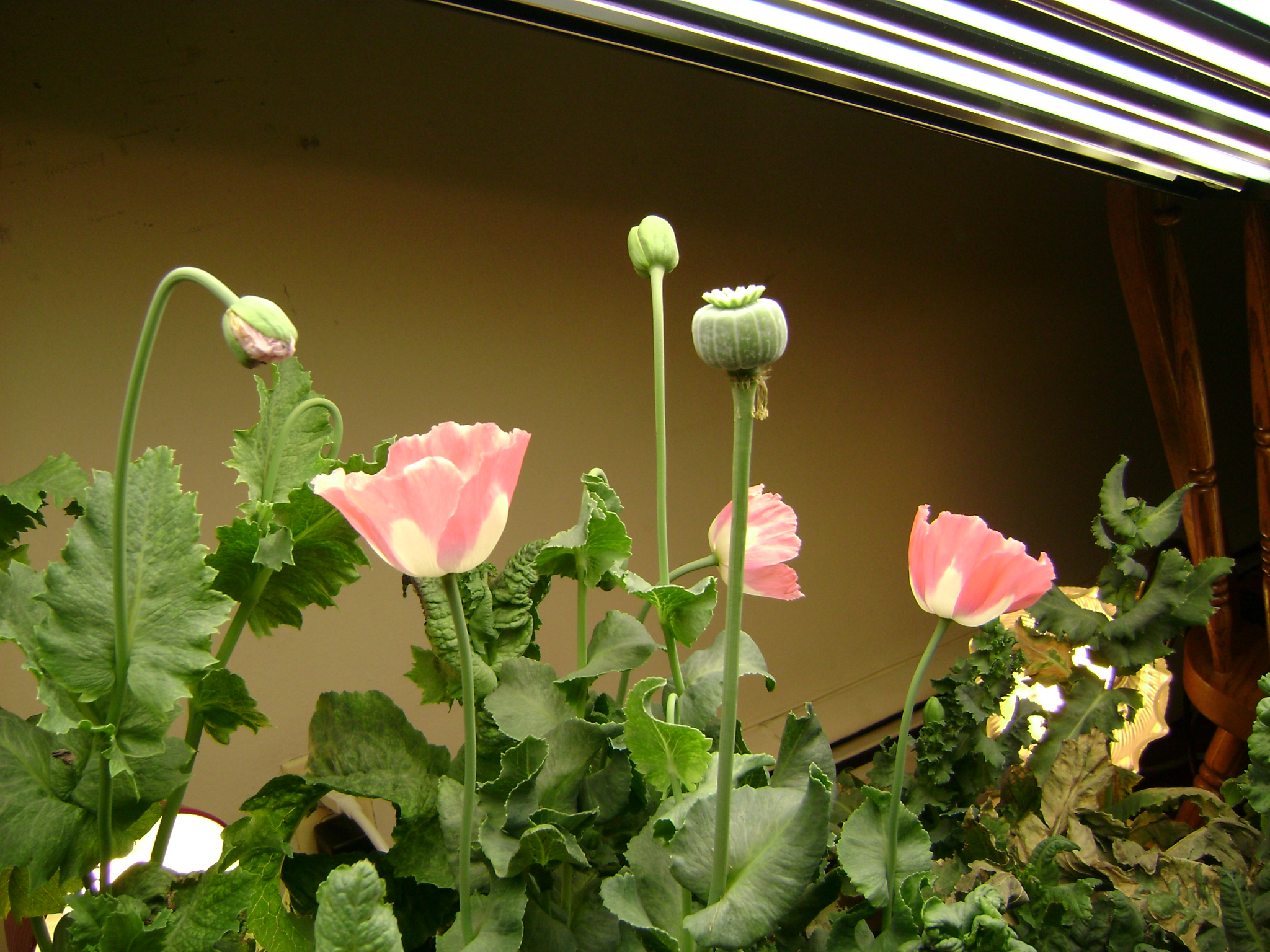 Hydroponic Poppies Grow Log Page 4 Poppies Opium Etc