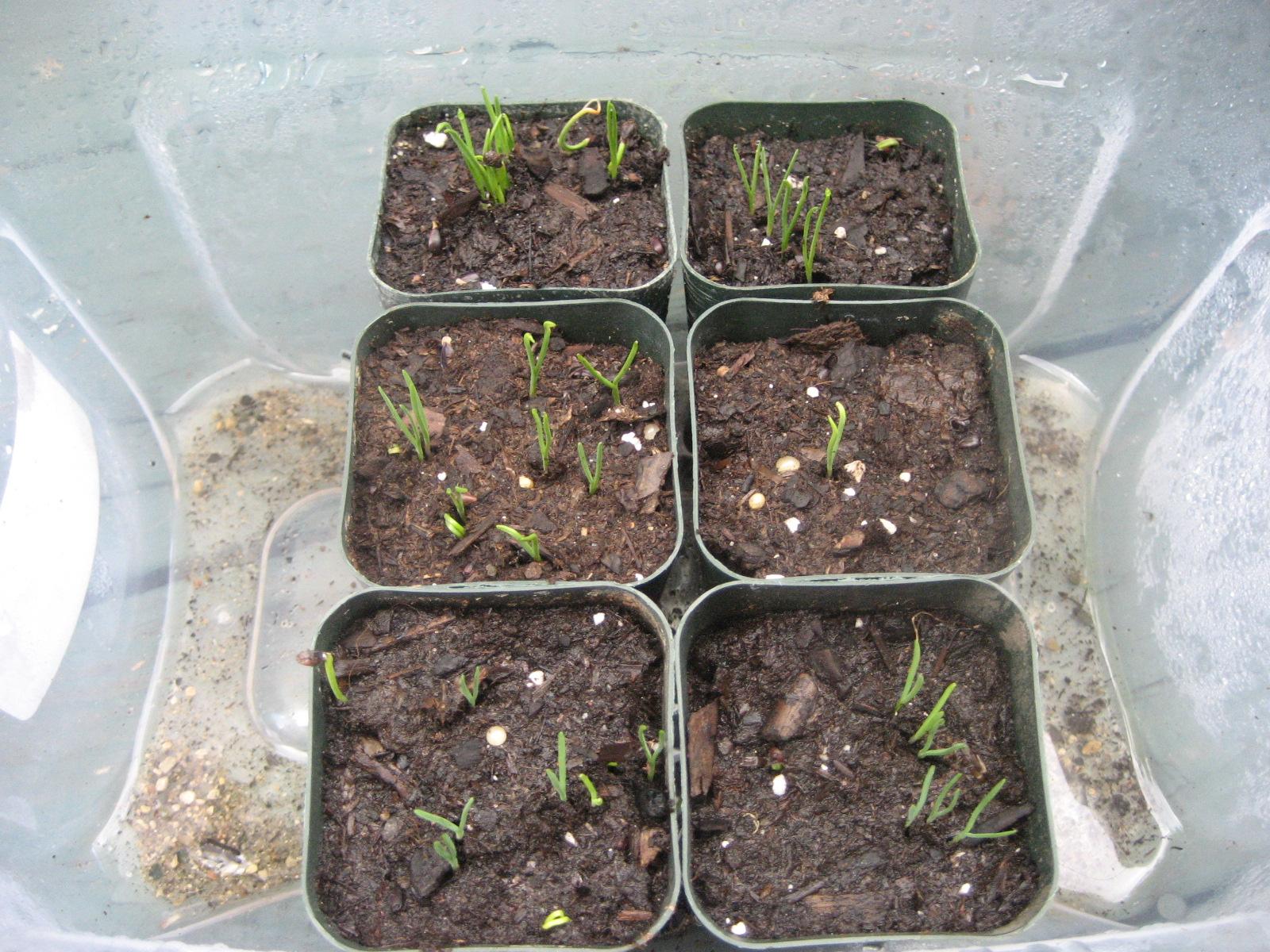 Ephedra Sinica aka Ma huang Grow Log - Botanicals - Mycotopia