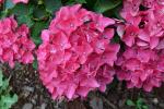 Hydrangia Blooms.jpg