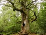 old-huge-oak-tree.jpg