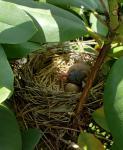 cardinal baby.jpg