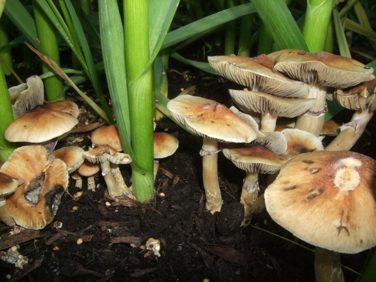 Outdoor Magi... Magic Mushroom Growing Season