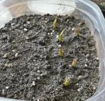 Ariocarpus seedling trigonus.png