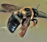 Carpenter-Bee.png