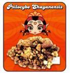 shayana_mushrooms_jpPsilocybe-shayanensis1 (2).jpg