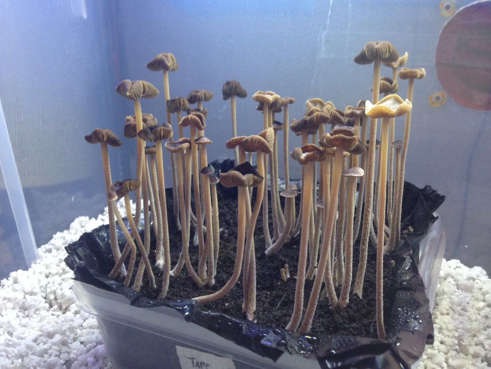 Psilocybe Tampanensis - Fungi: Magic Mushrooms - Mycotopia