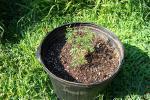 Desmanthus Leptolobus - In The New Pot - July 14 001.jpg