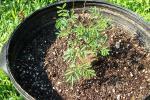 Desmanthus Leptolobus - In The New Pot - July 14 002.jpg