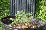 Desmanthus Leptolobus - In The New Pot - July 21 001.jpg
