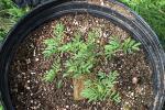 Desmanthus Leptolobus - In The New Pot - July 21 003.jpg