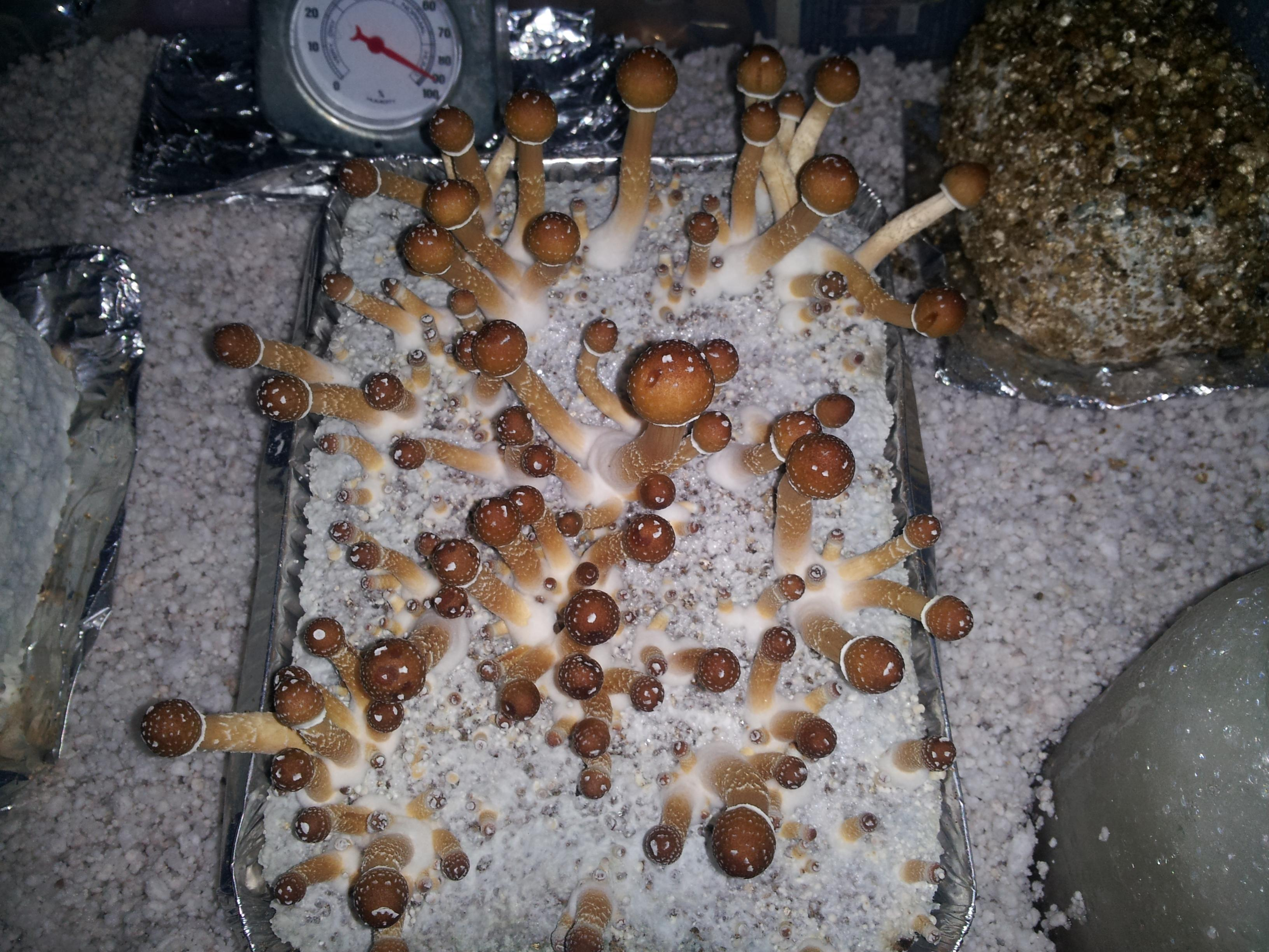 humidity and fruting - Fungi: Magic Mushrooms - Mycotopia