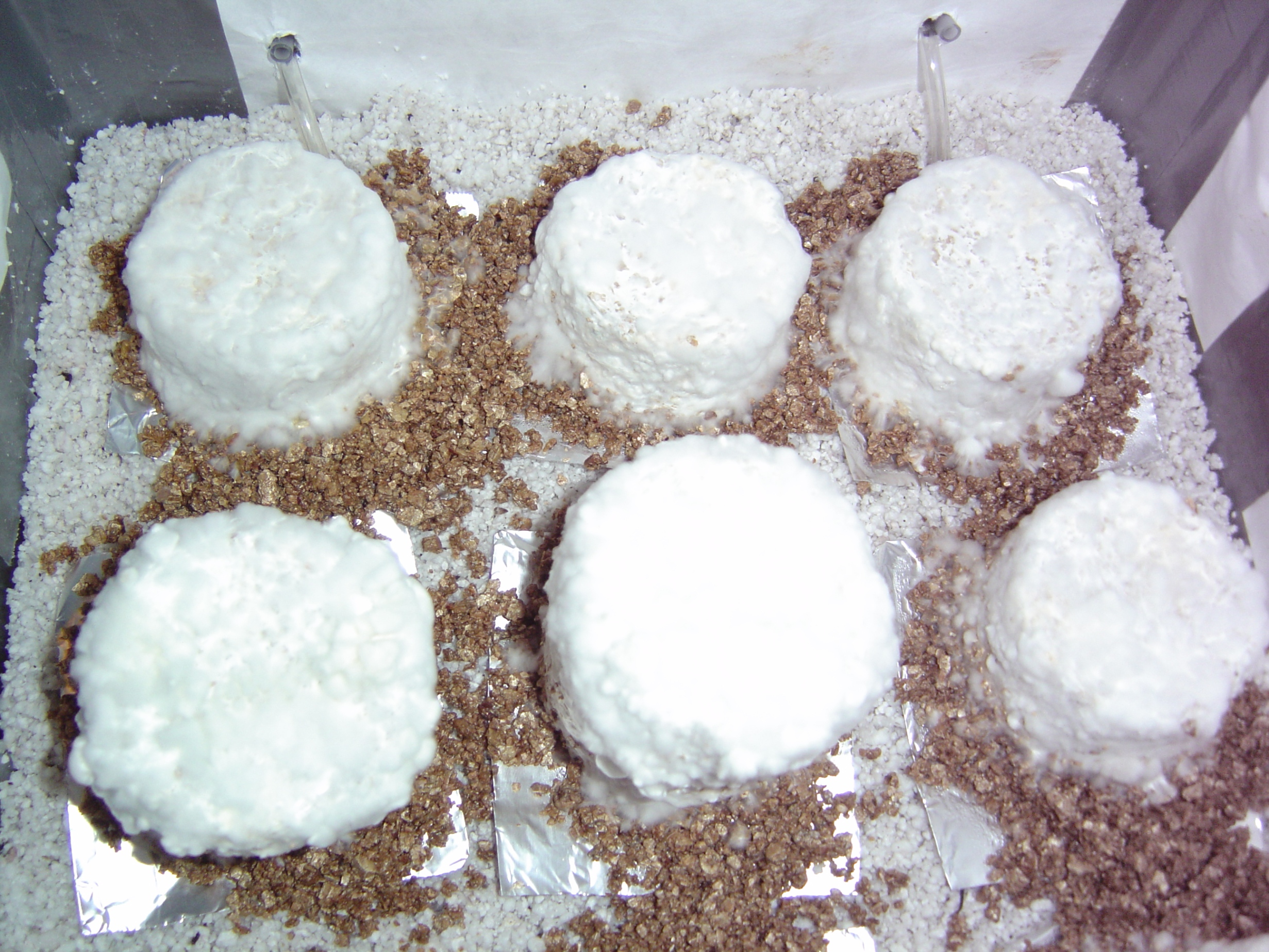 Very Fuzzy Cakes? - Fungi: Magic Mushrooms - Mycotopia