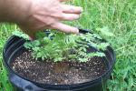 Desmanthus Leptolobus - August 16th 2007 008.jpg