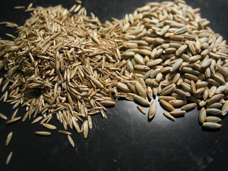 Rye Berries Not Colonizing