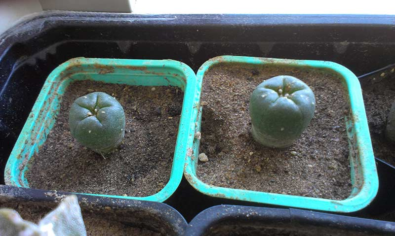 how to grow san pedro from seed