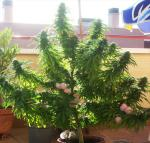 Afghani-1-in-a-pot-outdoors-1.jpg