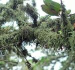 Costal tree moss 051.jpg
